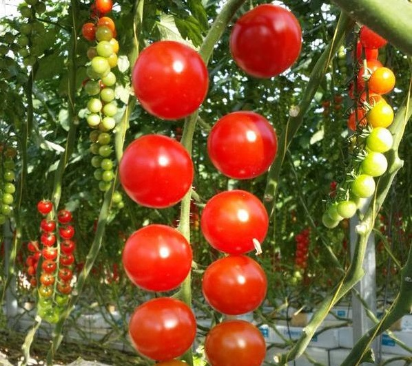 Croftpak tomatoes for Booths